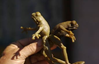 Frog puppet show
